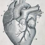 Анотомия сердца