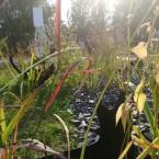 Травы, имитирующие усы кота: Ирис Сибирский, Молиния голубая, Лофант, Просо.